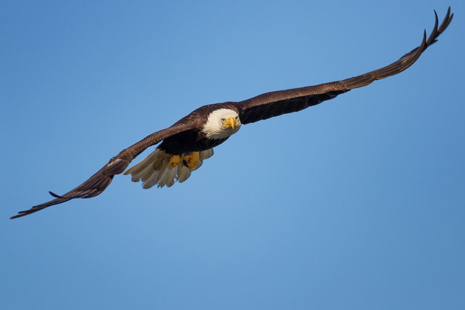 Bald Eagle flying in Campbell River, British Columbia