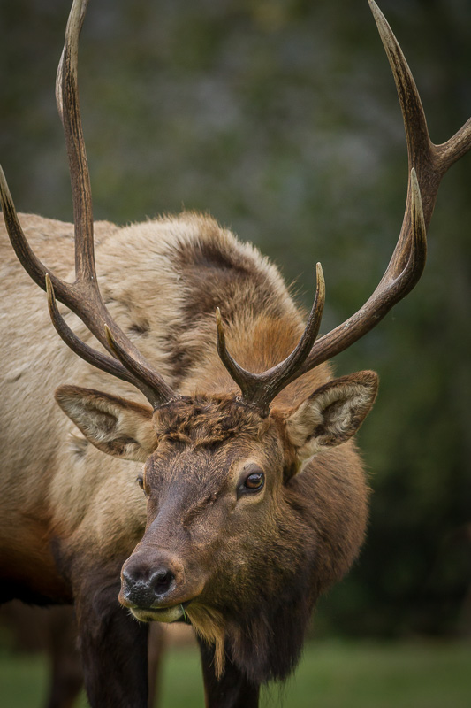 Roosevelt Elk, Elk Country, Oregon