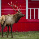 Photographing Roosevelt Elk at Elk Country, California