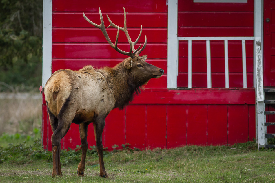 Photographing Roosevelt Elk at Elk Country, Oregon