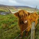 Highland Cattle (Heilan Coo), Isle of Skye, Scotland
