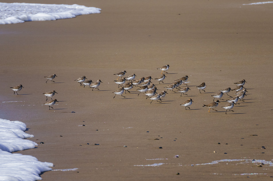 Sandpipers running on the beach in Lincoln City, Oregon