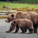 Learning to Clam – Grizzly Bear Cubs in Khutzeymateen British Columbia