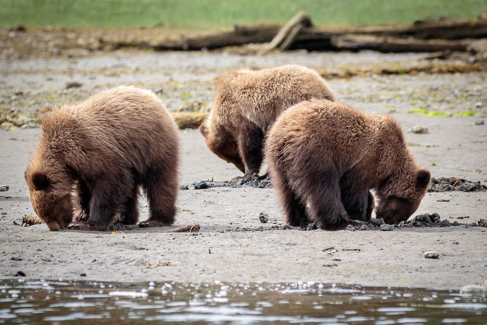 Grizzly Bears in Khutzeymateen Provincial Park, British Columbia