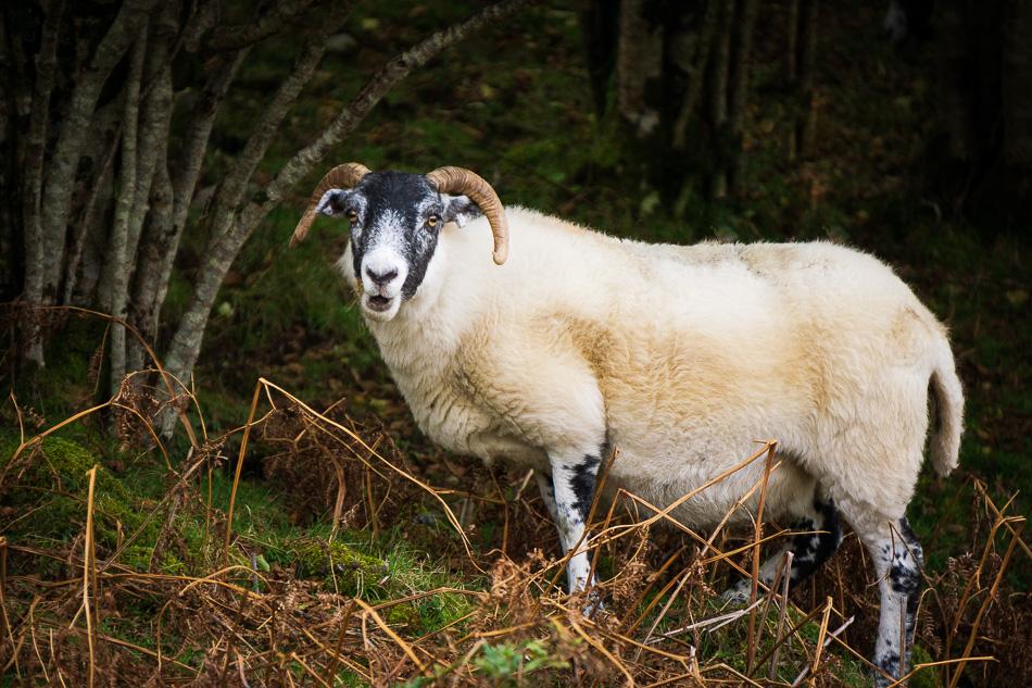 Sheep on Isle of Skye, Scotland