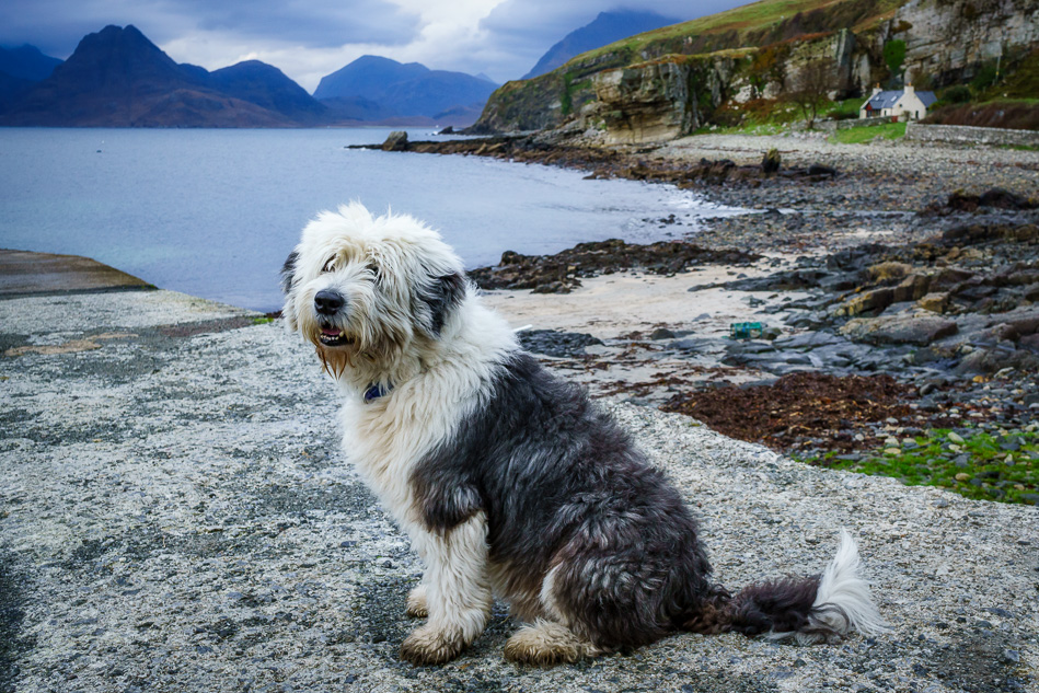 Sheepdog in Elgol, Isle of Skye, Scotland