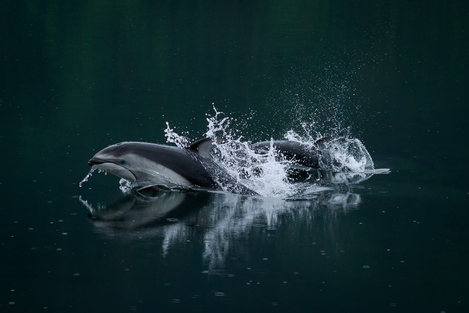 Pacific White Sided Dolphins in Khutzeymateen Provincial Park, British Columbia