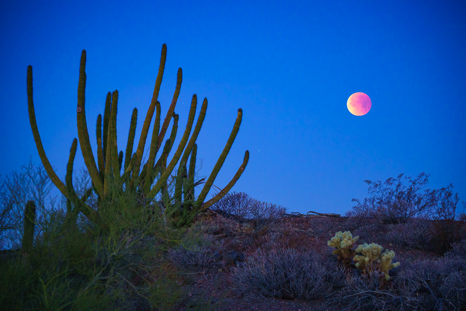 Blue, blood, super moon over organ pipe cactus near Ajo, Arizona