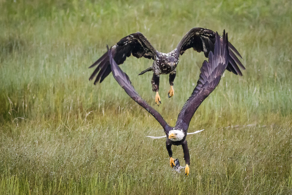 Two Bald Eagles fight over a fish head - with heart shape between wings.