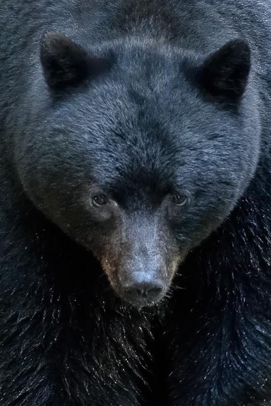 Black Bear in the Great Bear Rainforest, British Columbia