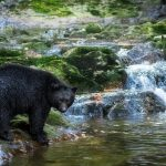 Black Bear in the Great Bear Rainforest, British Columbia