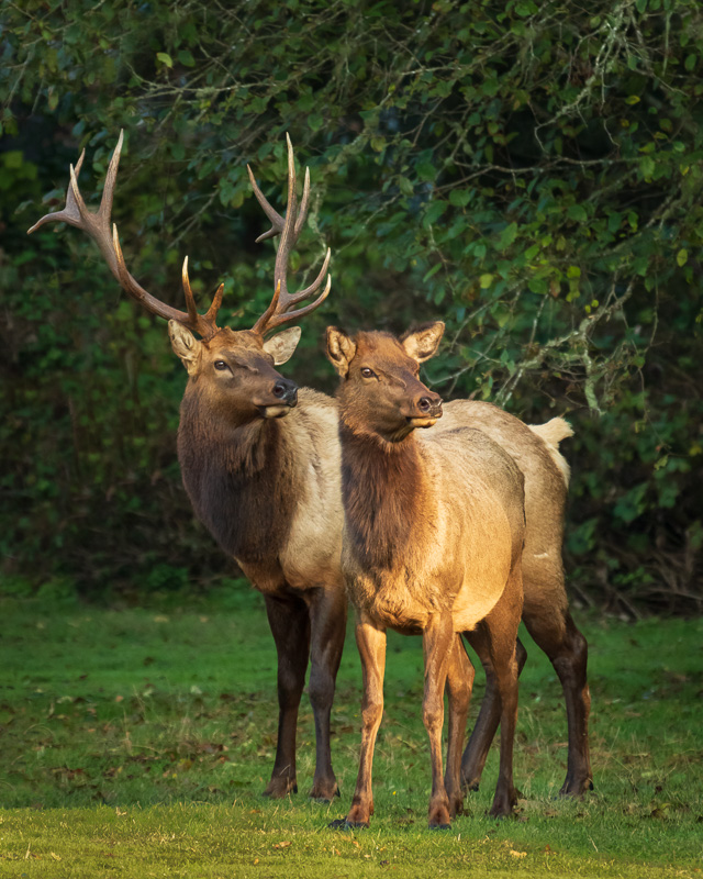 Pair of Roosevelt Elk at Elk Country, California