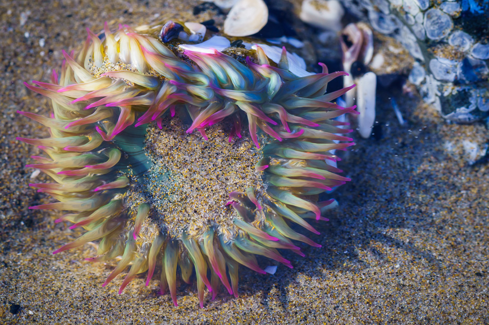 Sea Anemone at Cannon Beach, Oregon