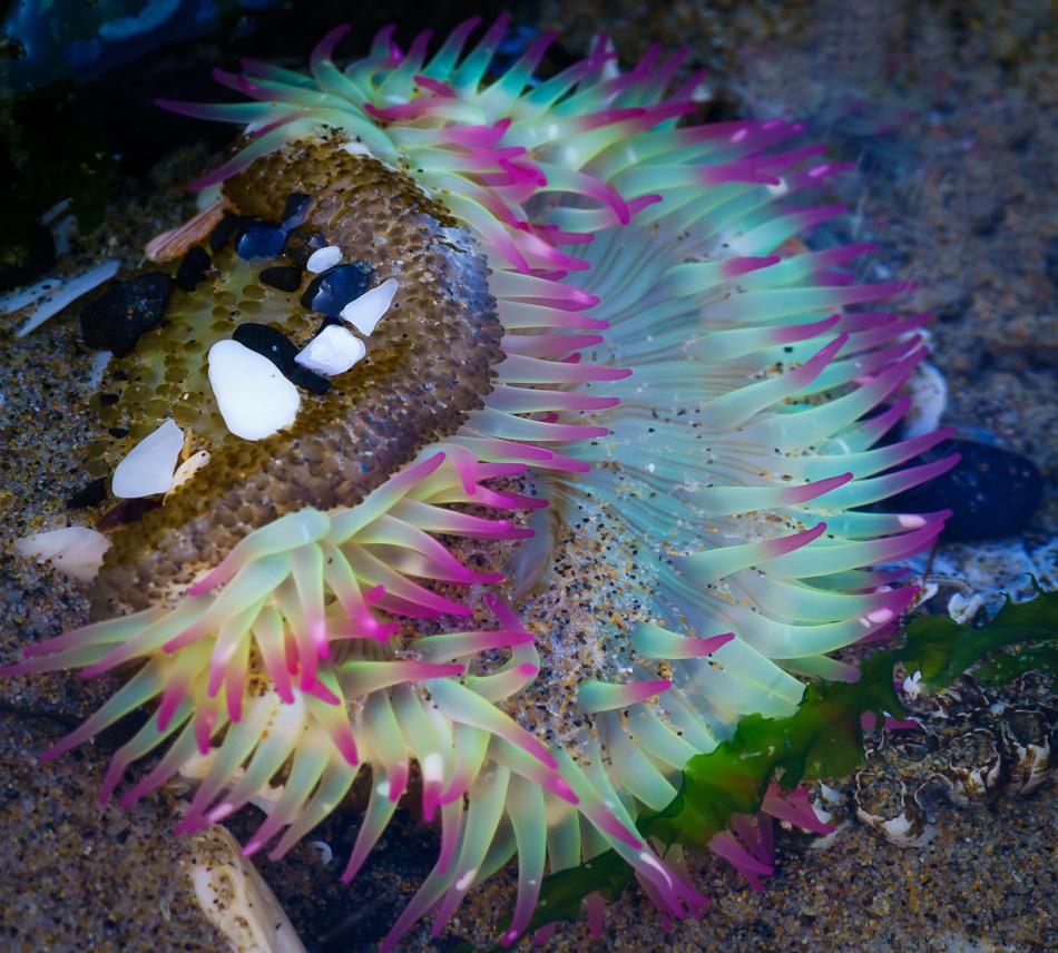 Sea Anemone at Cannon Beach, Oregon