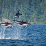 Pacific White Sided Dolphins in Johnstone Strait, British Columbia