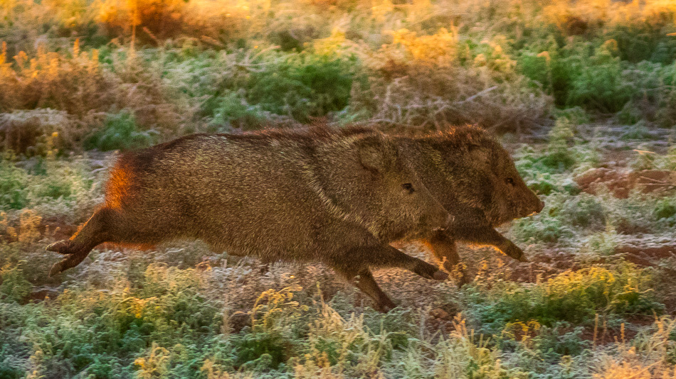 Javalina at Whitewater Draw, Arizona