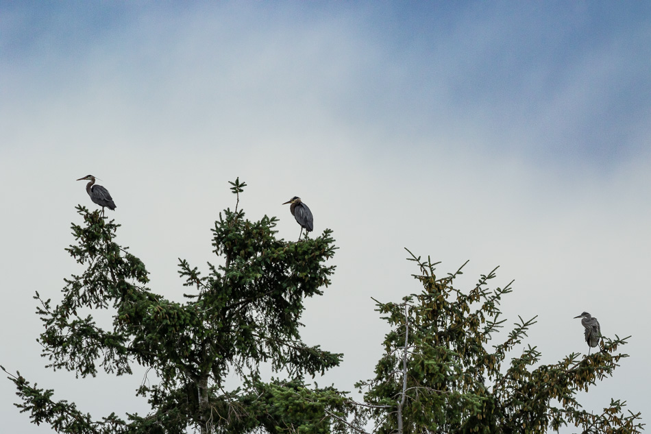 Three great blue herons at the estuary in Campbell River, British Columbia