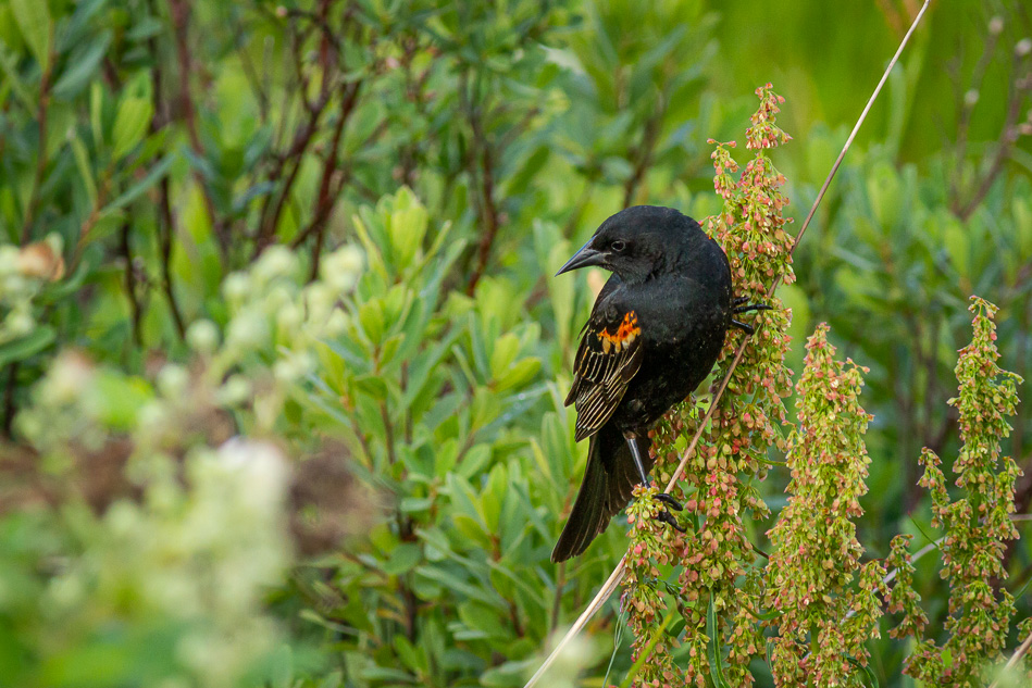 Blackbird in Campbell River, British Columbia
