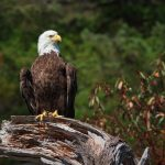 Bald Eagle near Campbell River, BC