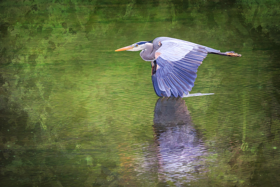Great Blue Heron in flight in Campbell River, British Columiba