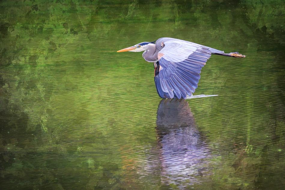 Great Blue Heron in flight in Campbell River, British Columiba