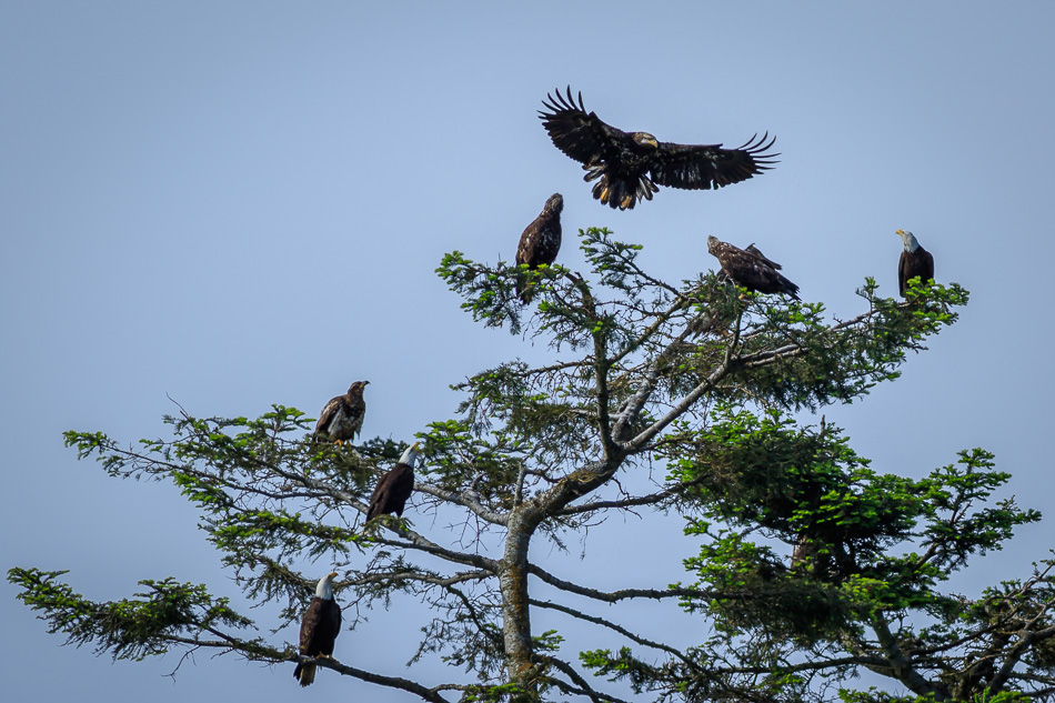 Nine eagles in the eagle tree in Campbell River, British Columbia