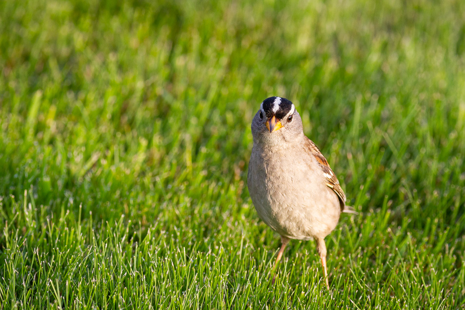 White Crowned Sparrow in Campbell River, British Columbia
