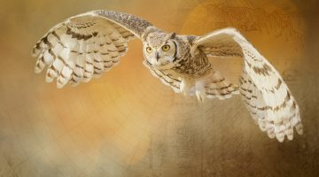Great Horned Owl Digital Art