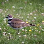 A Season of Killdeer